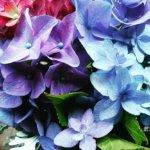 魔法の水揚げ紫陽花